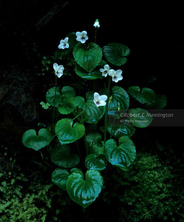 Northern White Violets. Great Smoky Mountains National Park, Tennessee, USA