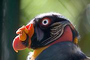 Venezuela_VEN, Venezuela...Detalhe de uma ave exotica na Venezuela...Detail of an exotic bird in Venezuela...Foto: JOAO MARCOS ROSA / NITRO