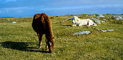 Horses grazing at Griminish, North Uist, Outer Hebrides, Scotland<br /> <br /> (c) Andrew Wilson | Edinburgh Elite media