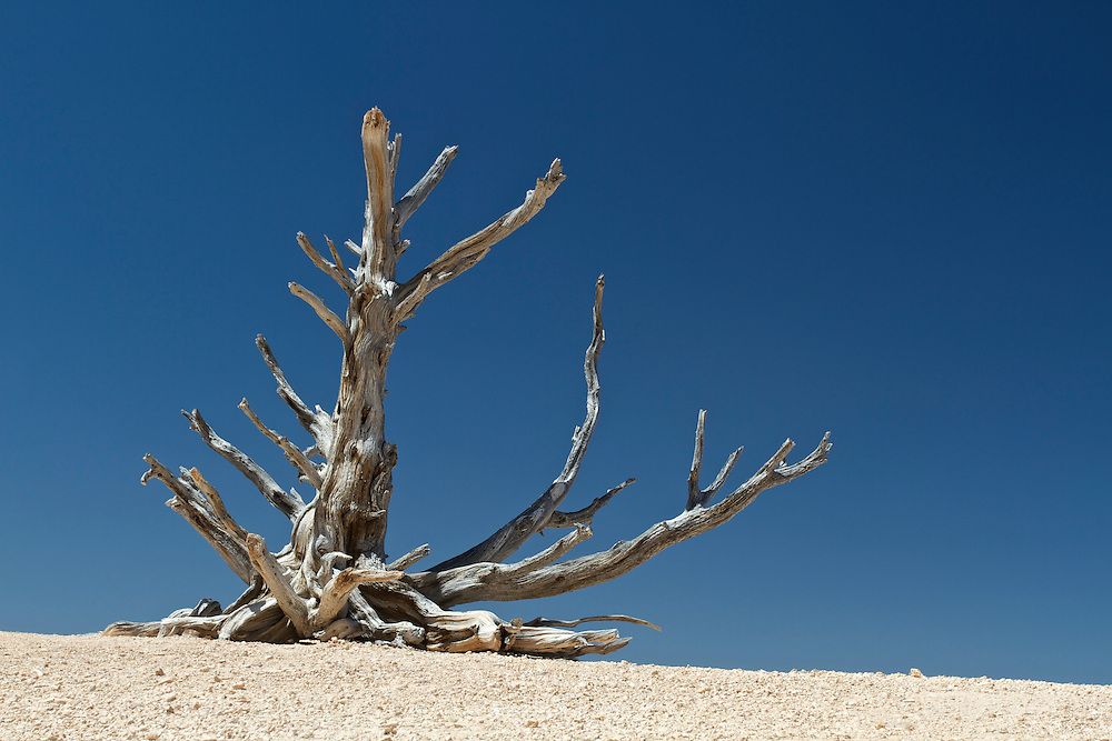 Dead bristlecone pine, close to Rainbow Point in Bryce Canyon National Park, Utah.