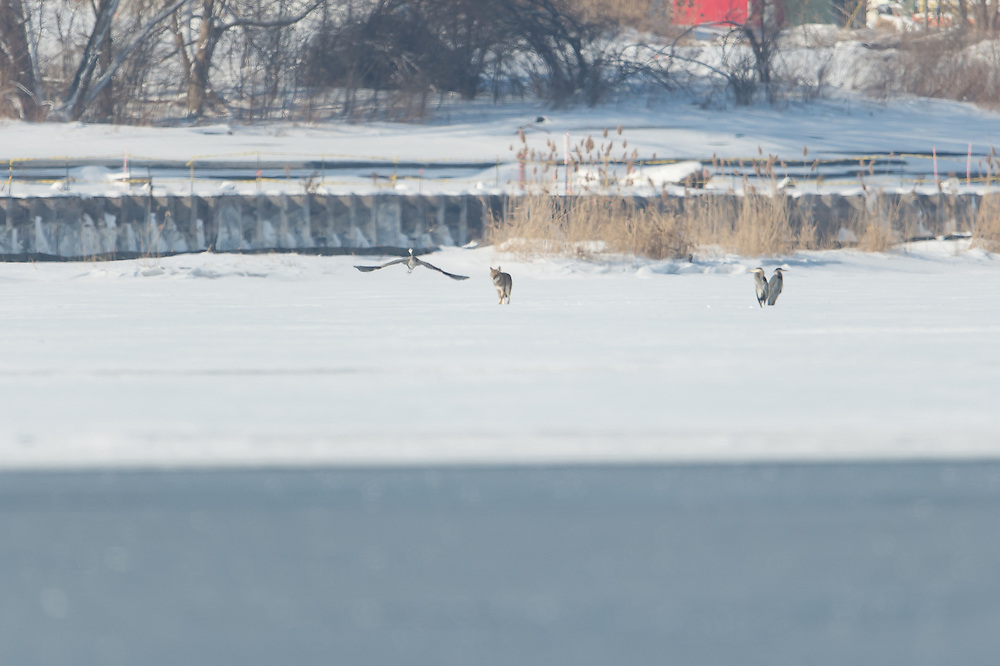 Coyote unsuccessfully attacking great blue herons.