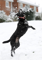 Ruby the Black Labrador enjoys the snow  in Cambridge, as unseasonal snowfall blankets the country, UK, March 24 2013.  Photo by Matthew Power / i-Images...