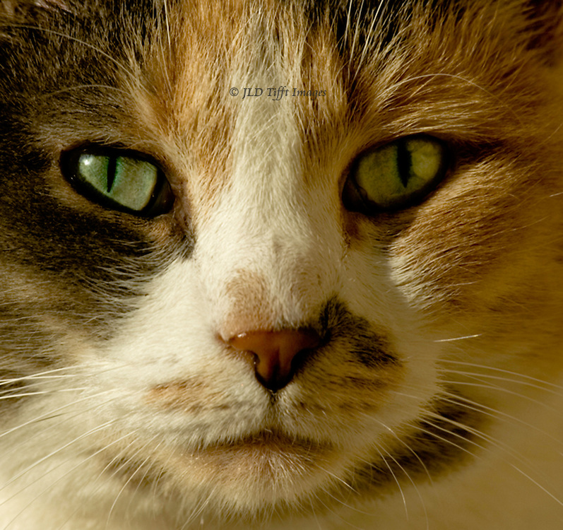 Tight head shot of a calico cat, green eyes, looking directly into the lens.