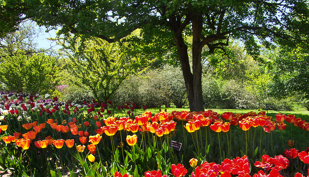 A sea of tulips near the lily pond.