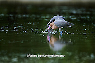 00694-00112 Reddish Egret (Egretta rufescens) fishing   FL