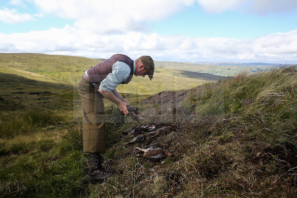 © Licensed to London News Pictures. 13/08/2016. Swinithwaite, UK. The game keeper tends to the dead grouse after a grouse shoot high on the Yorkshire moors in Swinithwaite, North Yorkshire. Yesterday was the glorious 12, the day that traditionally marks the start of the grouse shooting season. Photo credit : Ian Hinchliffe/LNP