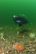 Greenland sleeper shark, Somniosus microcephalus, swims over plumose or frilled anemones, Metridium senile, and northern red anemone, Tealia felina or Urticina felina, St. Lawrence River estuary, Canada (this shark was wild & unrestrained; it was not hooked and tail-roped as in most or all photos from the Arctic)