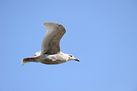 Juvenile Western Gull (Larus occidentalis) in flight with shellfish, , Chemainus , British Columbia, Canada