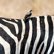 A small bird sits on the back of a zebra at Tarangire National Park in northern Tanzania not far from Ngorongoro Crater and the Serengeti.