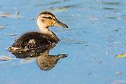 Mallard, Anas platyrhynchos, duckling, Chippewa County, Michigan