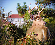 Young Buck at the Coast Guard Station on Robert Moses Beach