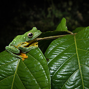 Phongsaly Tree Frog (Rhacophorus kio) male in Kaeng Krachan national park, Thailand