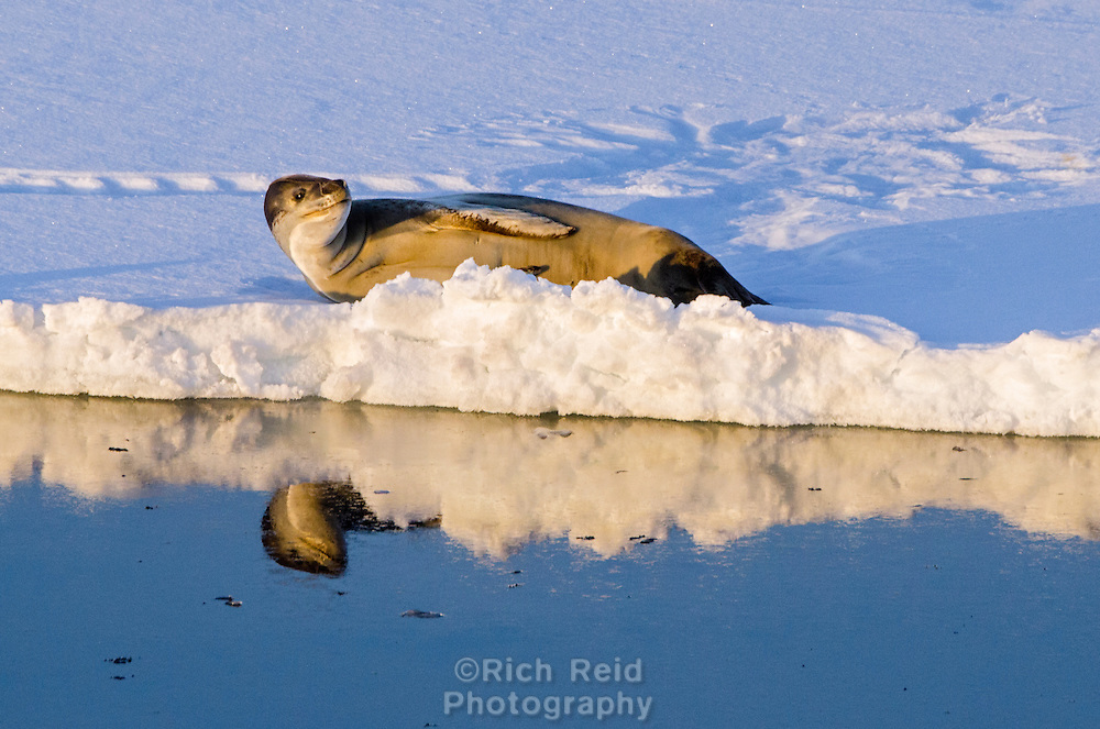 Leopard Seal, Hydrurga leptonyx on sea ice on the Graham Coast from the Grandidier Channel in Antarctica.