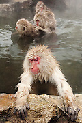 JAPAN, Jigokudani Yaen-koen, Nagano (Honshu).Snow monkey (Macaca fuscata) with grooming group in the background