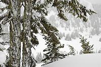 snowladen Subalpine Fir trees a Paradise Valley, Mount Rainier National Park, Washington, USA(Abies lasiocarpa) at Paradise Valley, Mount Rainier National Park, Washington, USA