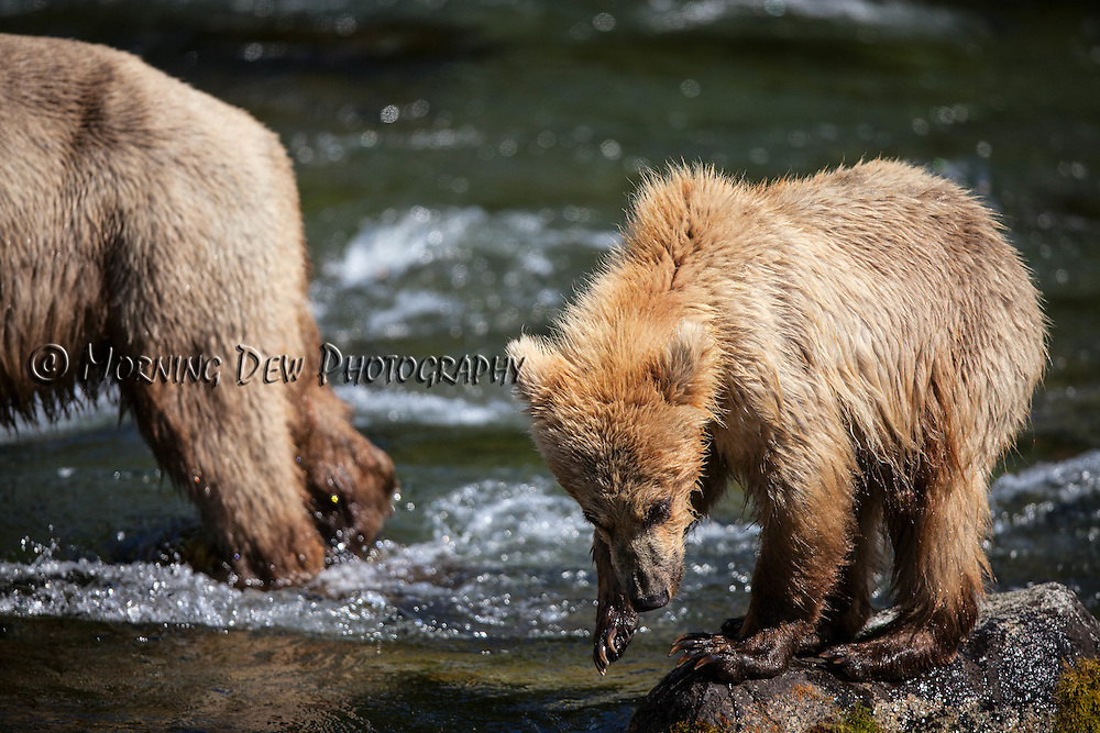 A yearling brown bear cub plays on some rocks, while its mother fishes in the Riffles along Brooks River.