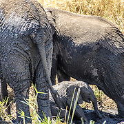 A baby elephant plays in the mud next to two much larger adult elephants at Tarangire National Park in northern Tanzania not far from Ngorongoro Crater and the Serengeti.