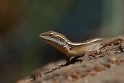 gilberts dragon, undara national park, NW Queensland