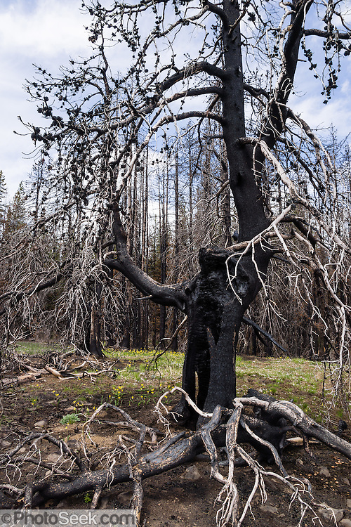 Burnt tree. Table Mountain Trail #1209, Blewett Pass, Wenatchee National Forest, Washington, USA