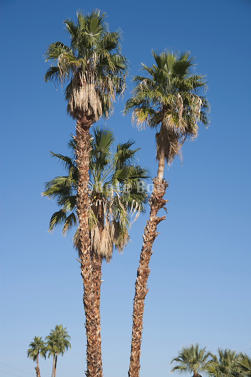 palm trees Palm Springs USA