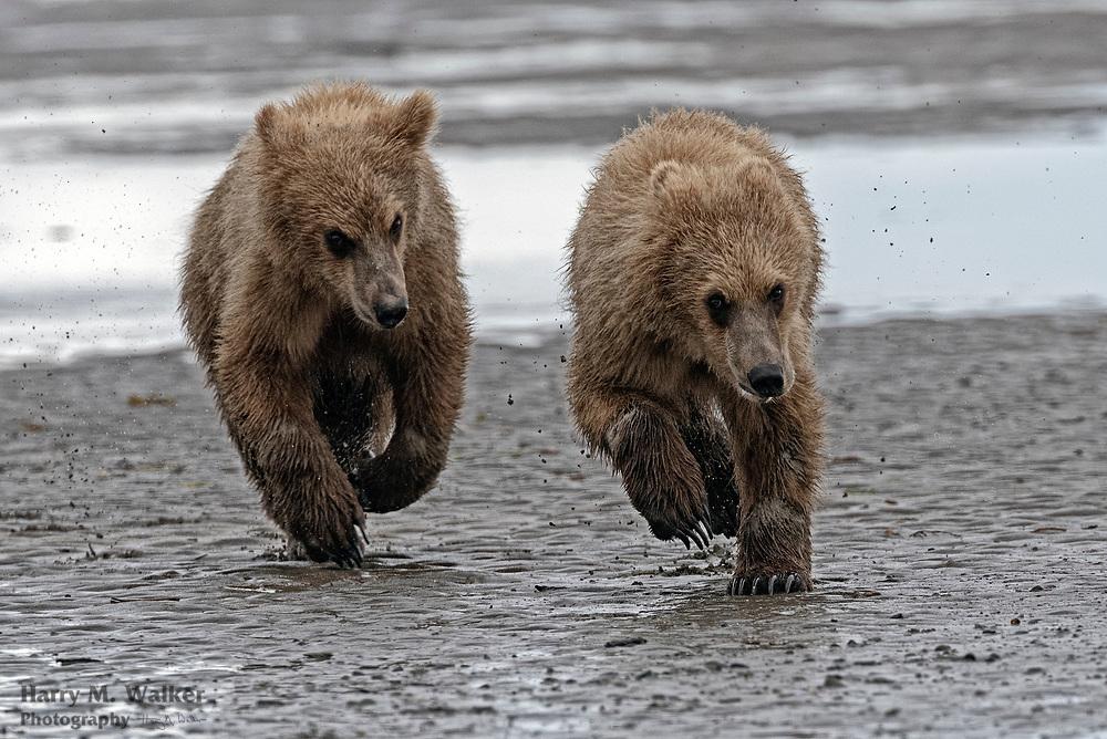 Brown bear cubs (Ursus arctos) belonging to different mothers play together on the beach at Hallo Bay; Katmai National Park Alaska