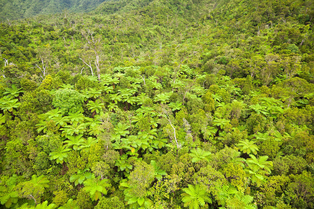 Invasive Australian tree ferns (Cyathea cooperi) in Lumahai Valley, Kauai, Hawaii.