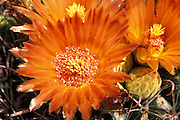 Crown of flowers on candy or fish-hook barrel cactus (Ferocactus wislizenii), Tucson, Arizona