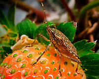 "Stink Bug on my first ""just about ripe"" indoor hydroponic strawberry. Image taken with a Fuji X-T3 camera and 80 mm f/2.8 macro lens (ISO 800, 80 mm, f/16, 1/60 sec)."