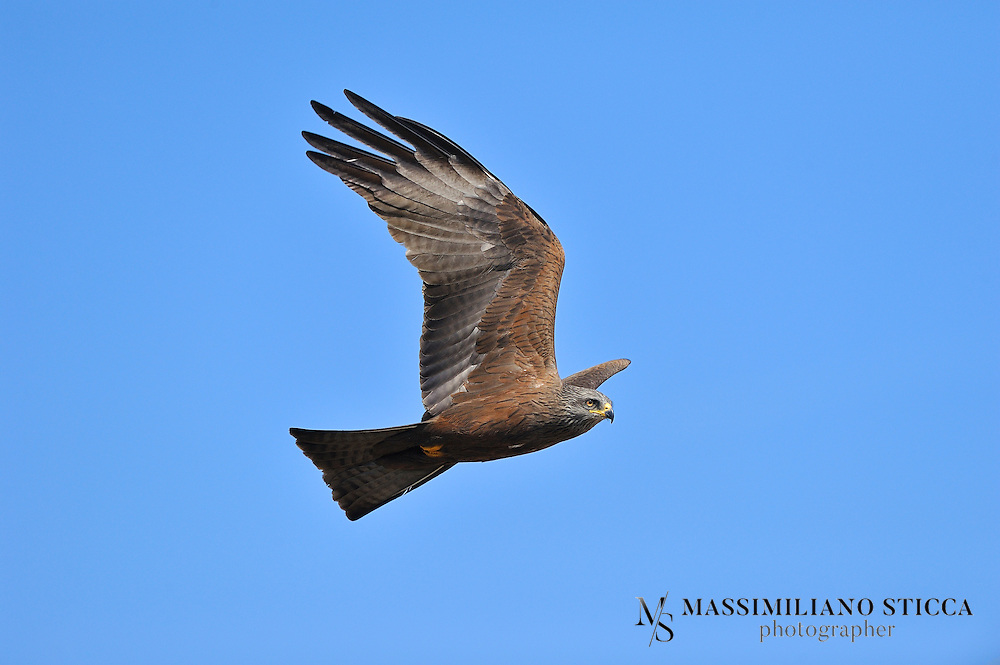The Black Kite (Milvus migrans) is a medium-sized bird of prey in the family Accipitridae, which also includes many other diurnal raptors. Unlike others of the group, Black Kites are opportunistic hunters and are more likely to scavenge. They spend a lot of time soaring and gliding in thermals in search of food. Their angled wing and distinctive forked tail make them easy to identify. This kite is widely distributed through the temperate and tropical parts of Eurasia and parts of Australasia and Oceania, with the temperate region populations tending to be migratory. Several subspecies are recognized and formerly had their own English names. The European populations are small, but the South Asian population is very large.