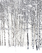 'Serene' a snowscape of Aspen trees in Yellowstone National Park by Tracie Spence.