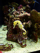 Sea Horse, Waikiki Aquarium, Honolulu, Oahu, Hawaii