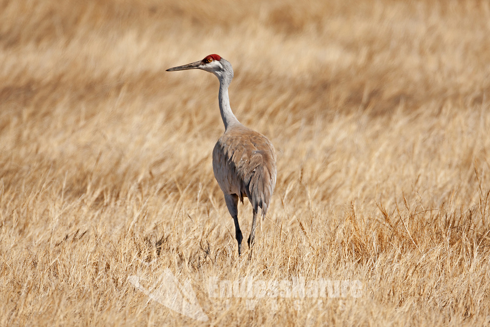 A Sandhill Crane walks the open marshlands feeding on insects like midges and mosquitoes they are a large bird and can be found in farmlands along with marshes in Utah.
