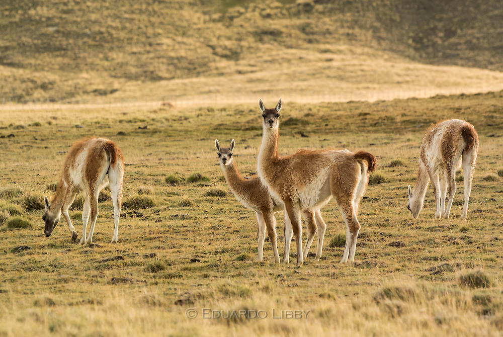 A young South American Guanaco and his mother in the Patagonian Steppe near El Calafate, Patagonia.
