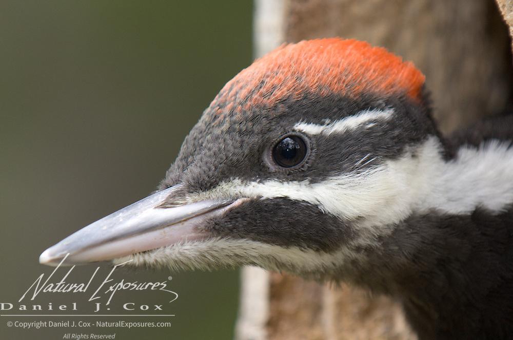 Pileated woodpeckers (Dryocopus pileatus) portrait. Montana