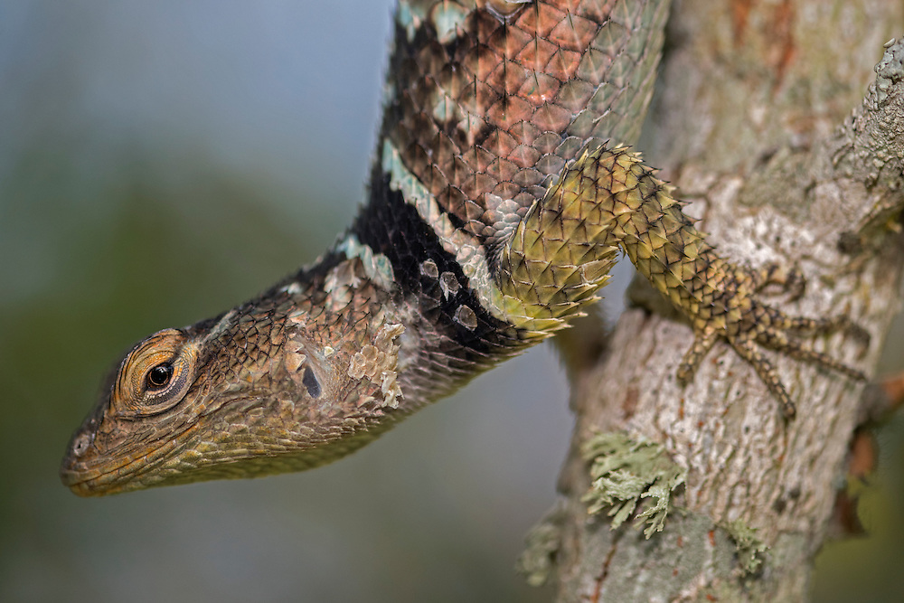 Blue Spiny Lizard, Sceloporus cyanogenys;<br /> Photographer:  Hector Astorga <br /> Property:  Santa Clara Ranch / Beto &amp; Clare Gutierrez<br /> Starr County