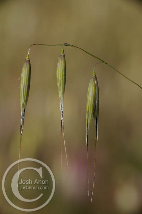 Three wild grasses start to bloom in the spring time, in Moraga, California.