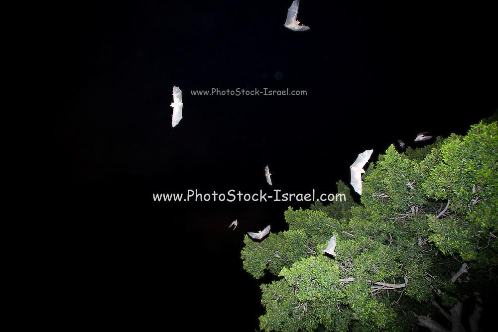 Egyptian Fruit Bat (Rousettus aegyptiacus) in flight at night. Photographed Sharon, Israel