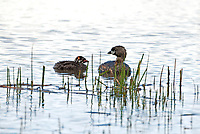 A Pied Billed Grebe spends a little time resting on a marsh pond with one of its young enjoying the morning sun!