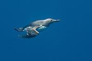 Guillmot swimming underwater