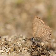 Dingy Line blue butterfly, Petrelaea dana.