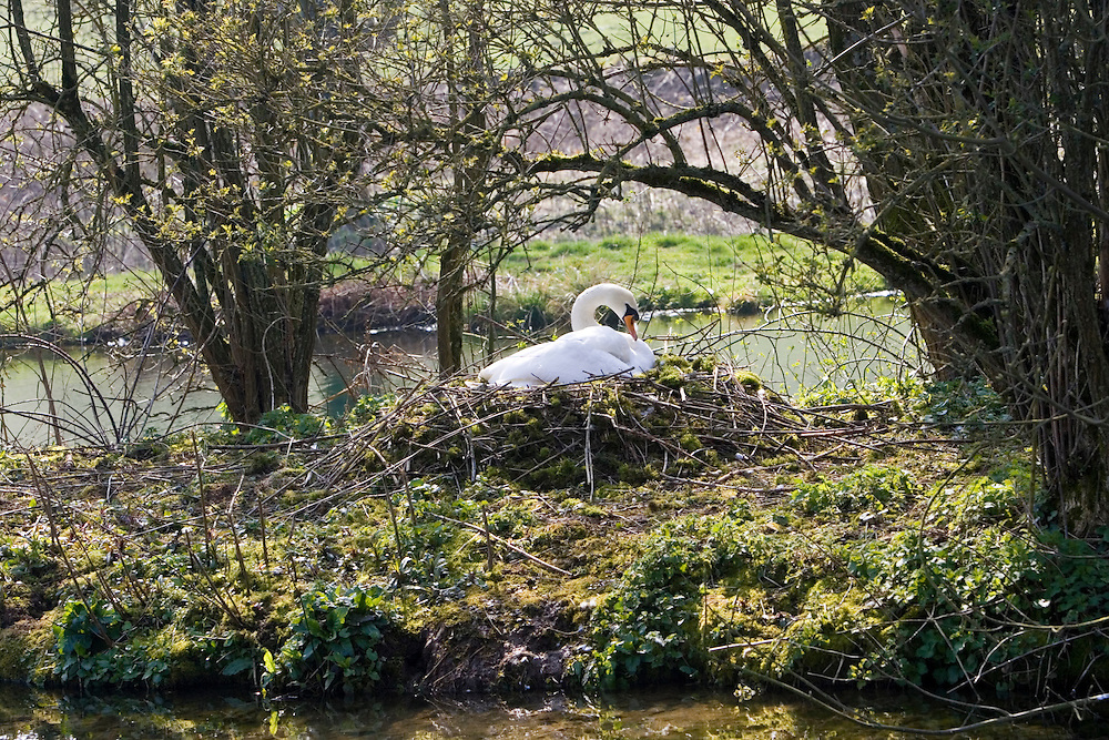 Female mute swan on nest, Donnington, Gloucestershire, The Cotswolds, England, United Kingdom