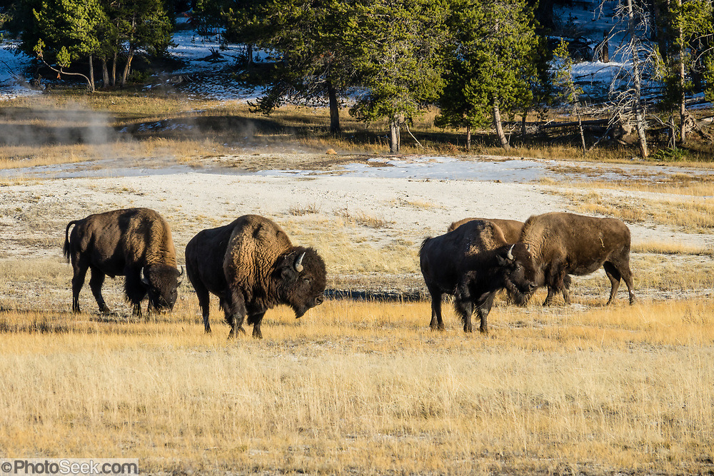 Bison in Yellowstone National Park, Wyoming, USA.