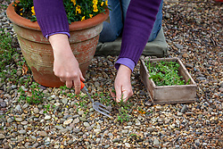 Weeding gravel by hand using a fork