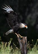Adult Caracara landing on a snag