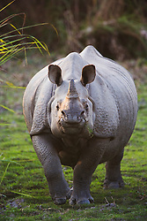 A front close up of an Indian rhinoceros ( Rhinoceros unicornis ) approaching , Kaziranga National Park, Assam, India