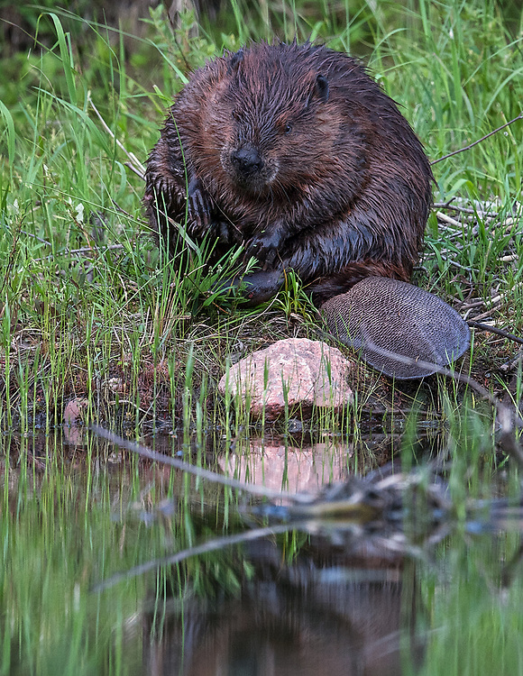 Beaver on Jordan Pond, Acadia NP, Maine