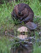 Beaver on Jordan Pond, Acadia NP, Maine