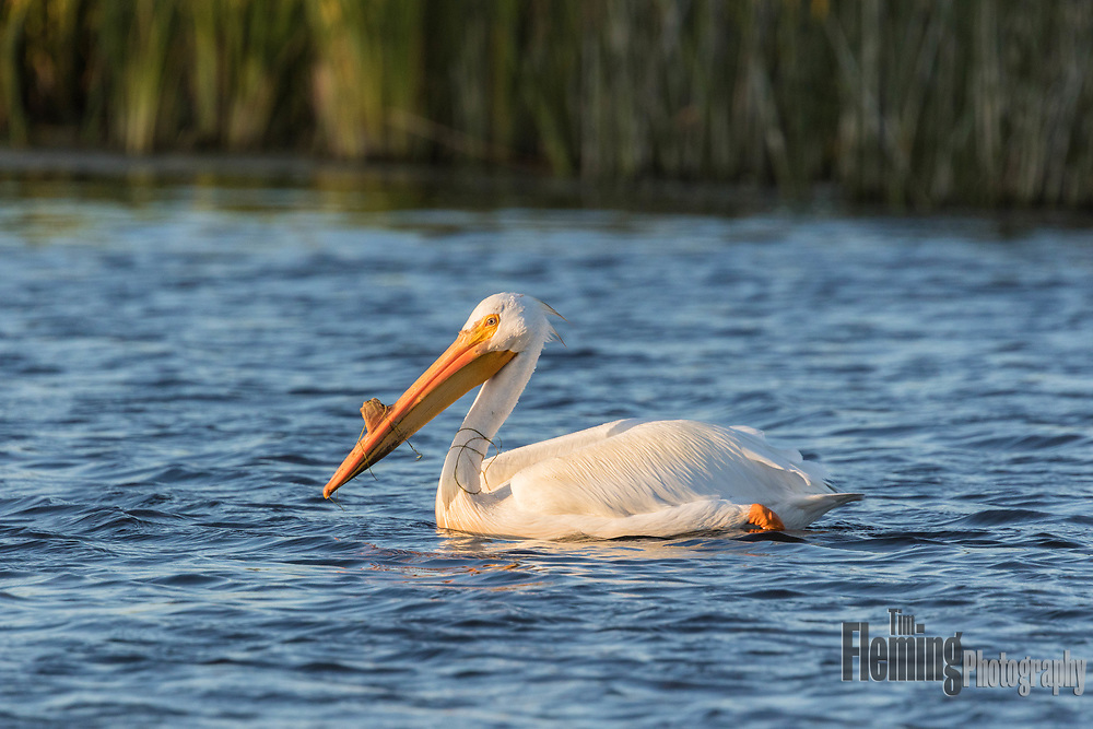 "White pelican with breeding ""horn"" that is shed after mating."