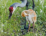 Sandhill crane chick preens while waiting close by foraging adult, © 2014 David A. Ponton