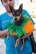 A Mexican Chihuahua dressed as a pumpkin during the dog costume parade part of Day of the Dead Festival known in spanish as Día de Muertos on October 25, 2014 in Oaxaca, Mexico.